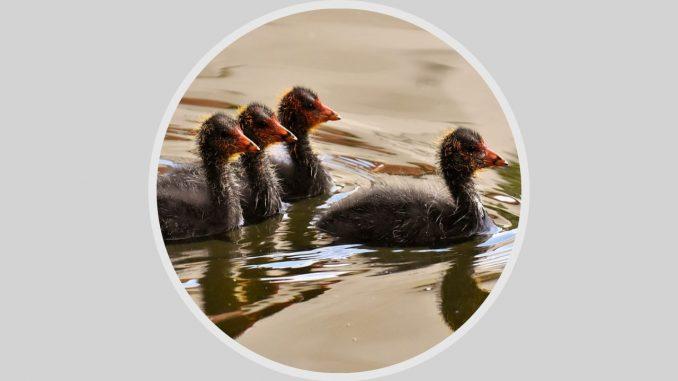 Eine Ente führt die Gruppe, drei Enten folgen.